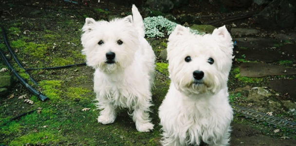 Westies Slider Image